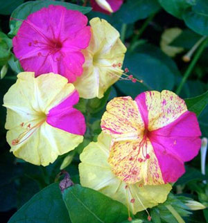 Mirabilis jalapa Four OClock Marvel of Peru Broken Colors 5