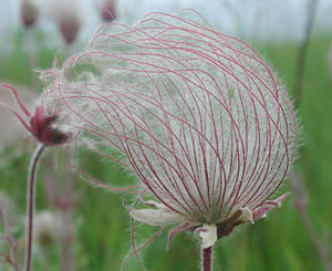 This is Geum triflorum, also known as prairie smoke, old mans whiskers, three-flowered avens, and Purple Avens. Growing up to 8 inches tall, this plant likes to live in the full sun. Geum triflorum is resistant to deer. Blooming from Spring to early Summer this plant has red blossoms. A vast variety of bees pollinate this plant. Some plateau indians used this plant to treat tuberculosis. The roots can be used to make a tea. USDA Hardiness Zones 3 to 7.