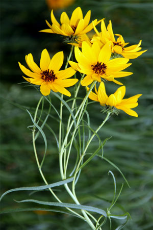 Helianthus salicifolius Willowleaf Sunflower 4