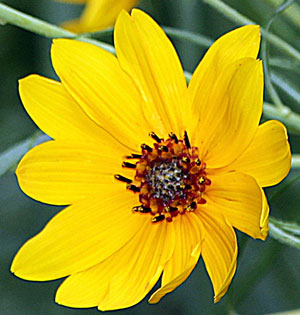 Helianthus salicifolius Willowleaf Sunflower 1