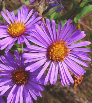 Here, I am offering seeds from Symphyotrichum novae-angliae, also known as New England Aster, Hardy Aster, and Michaelmas Daisy. This plant does well in full sun, and is fairly happy in light shade, but when it is in the full sun it attracts even more birds, bees, and butterflies than usual. Not only is this a great butterfly plant but it is also deer resistant and very attractive. This is a nectar plant for the Pearl Crescent, Behrs Metalmark, Dainty Sulphur, Field Crescent, Little Yellow, Eastern Tailed-Blue, Sachem, Viceroy, Question Mark, American Snout, Painted Crescent, Northern Checkerspot, Plains Skipper, Common Buckeye, Cabbage White, Arctic Fritillary, Orange Sulphur, Western Branded Skipper, Common Branded Skipper, Common Checkered-Skipper, and Leonards Skipper butterflies. USDA Hardiness Zones 3 to 10