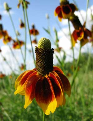 Ratibida columnifera Mexican Hats Grey Headed Coneflower