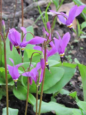 Dodecatheon amethystinum Amethyst Shooting Star