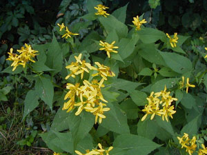 Verbesina occidentalis Yellow Wingstem Crown-Beard 2