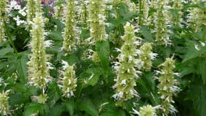 Agastache rugosa Alba Liquorice White Anise Hyssop Snow Spike