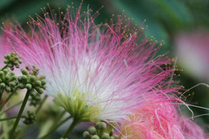 Albizia saman Five Oclock Rain Tree Monkeypod Mimosa 1