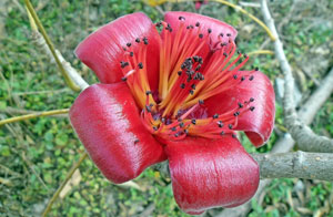 Bombax ceiba Red Silk Cotton Tree Kapok 5