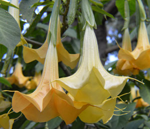 Brugmansia arborea Orange 5
