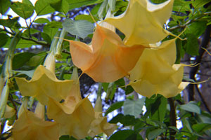 Brugmansia arborea Orange 2