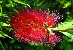 Callistemon citrinus Lemon Crimson Bottlebrush