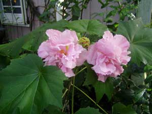 Hibiscus mutabilis Confederate Cotton Rose Double