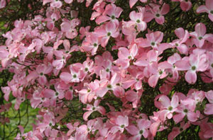 Cornus florida rubra Pink-flowering Dogwood 4