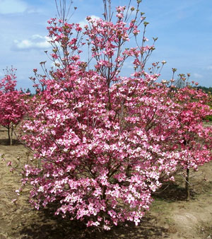 Cornus florida rubra Pink-flowering Dogwood 3