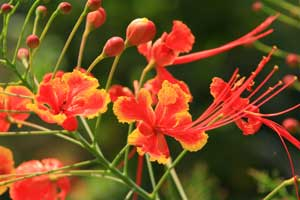 Caesalpinia pulcherrima Pride of Barbados Red Bird of Paradise
