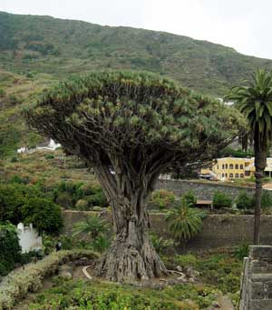 Dracaena draco Canary Islands Dragon Tree