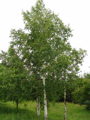 Betula pendula Birch European White Silver Warty