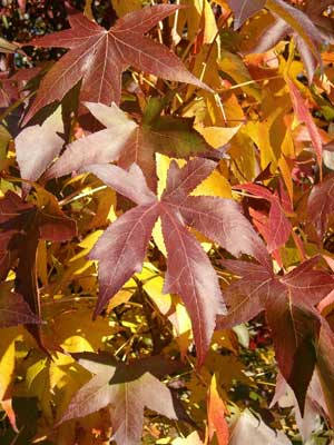 Here, I am offering Seeds from Liquidambar styraciflua, also known as Sweetgum, Red Gum, Liquid Amber, Northern Sweetgum, American sweetgum, sweet gum, sweet-gum , hazel pine, American-storax, bilsted, red-gum, satin-walnut, star-leaved gum, and alligator-wood. This attractive tree has star shaped five pointed leaves. In rare instances a leaf may have three or seven points. This is the larval host plant to the Imperial, Luna, Nemoria saturiba, Royal Walnut, and Sweetgum Leafroller moths. USDA Hardiness Zones 6 to 10