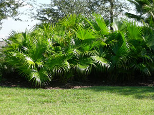 Livistona chinensis Chinese Fan Palm 3