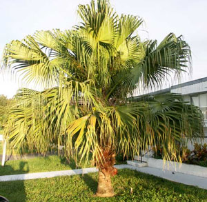 Livistona chinensis Chinese Fan Palm 1