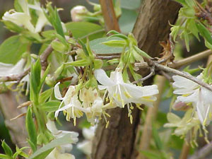Lonicera fragrantissima Winter Honeysuckle 2