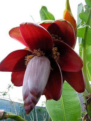 This is Musa balbisiana, also known as Wild Banana. The red and maroon flowers are followed by green and blue fruit. Seeded Musa balbisiana fruit are seeded, cooked and eaten. People eat the underground stem as a vegetable. Curries are cooked up using the inner stem and male flowers. The stem can also be used to make fiber, and dye is made from the whole plant. Very young fruits can be used to make pickles or to top salads. USDA Hardiness Zones 9 to 12.