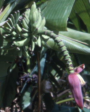 This is Musa thomsonii. This is an edible quick growing banana that has been known to survive frost and snowfall. The large green leaves have red outlines, making them a very attractive addition to the garden. They do well in sun and light shade. USDA Hardiness Zones 7b to 10.