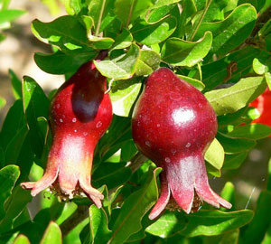 Punica Granatum Nana Dwarf Pomegranate 5