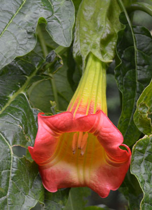 Brugmansia sanguinea Red Eagle Tree Angel Trumpet