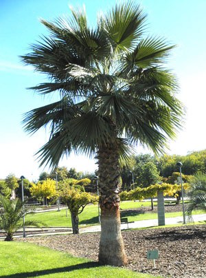 Washingtonia robusta Mexican fan palm Skyduster 5