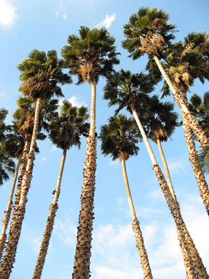 Washingtonia robusta Mexican fan palm Skyduster 4