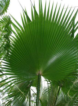Washingtonia robusta Mexican fan palm Skyduster 3
