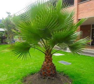 Washingtonia robusta Mexican fan palm Skyduster 2