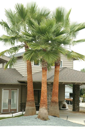 Washingtonia robusta Mexican fan palm Skyduster 1