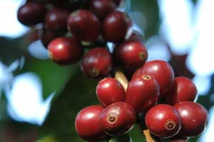 Coffea arabica Gesha Geisha Coffee