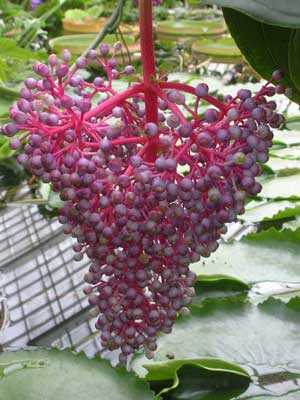 Here I am offering Seeds from Medinilla myriantha, also known as Malaysian Orchid, and Malaysian Grapes. This plant grows to about 4 feet tall and likes to live in light shade. This is an indoor house plant for everyone who doesn't live in zone 10. I think that is Hawaii and parts of Florida, maybe Albuquerque. Anyways, it makes a great house plant. You can move it outside in the summer where the birds bees, and butterflies will go wild over it. This plant has a long bloom from late Spring until early Fall. This is a nectar plant for a group of butterflies called the longwings or heliconians. UDSA Hardiness Zones 10 to 11