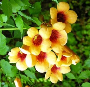 campsis radicans flava yellow trumpet vine tagliabuana madame galen flamenco crimson. Black Bedroom Furniture Sets. Home Design Ideas