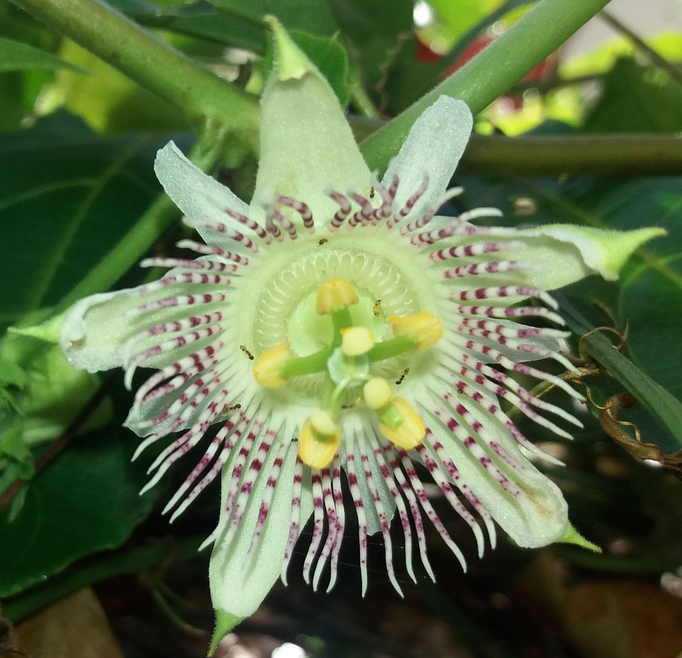 Passiflora adenopoda | Velcro Passion Flower | 5_Seeds