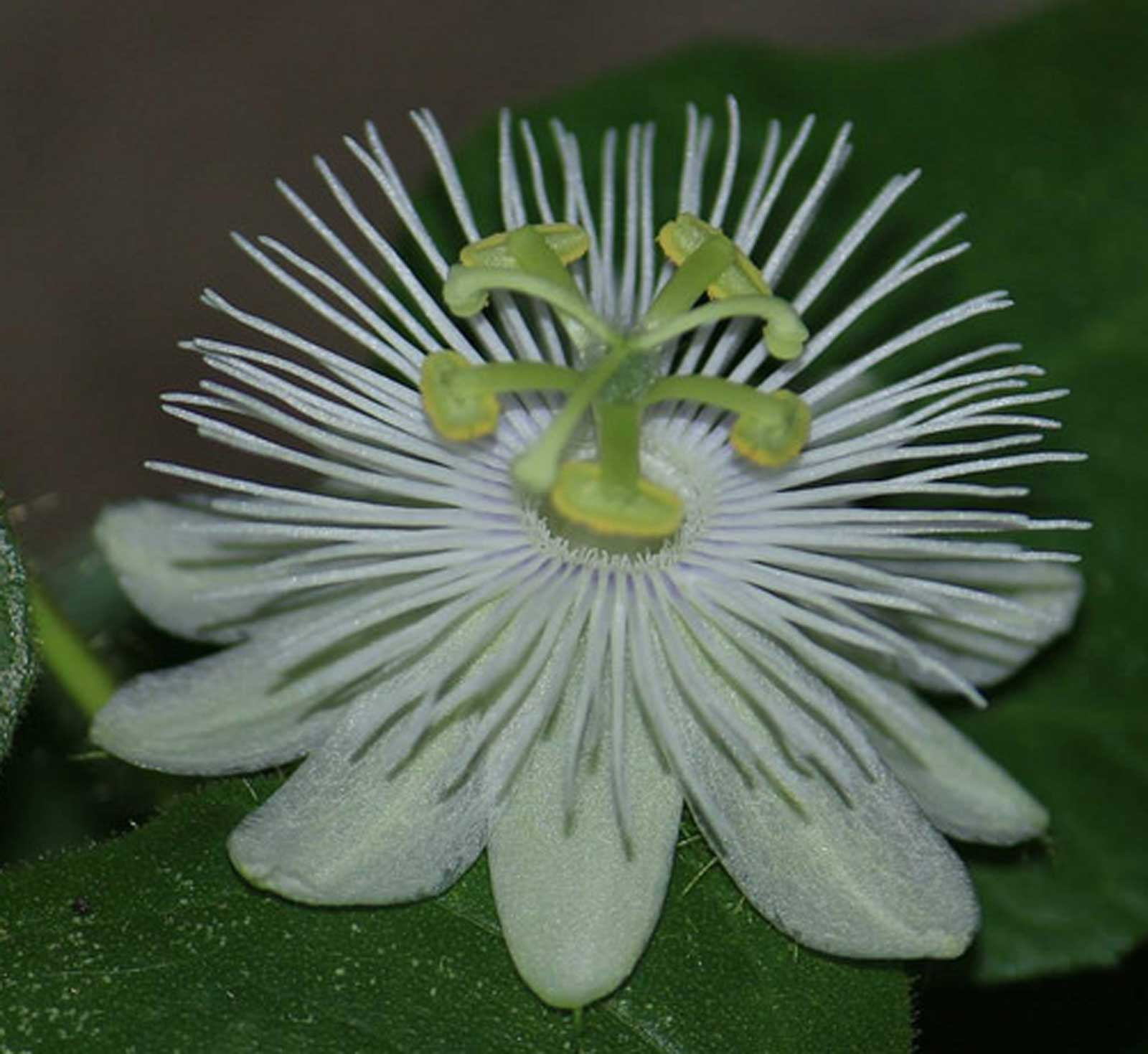 Passiflora foetida alba | Running Pop | Passion Flower | 20_Seeds