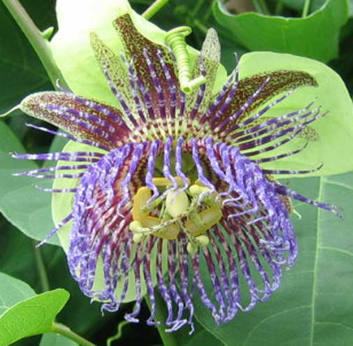 Passiflora maliformis | Conch Apple | Sweet Calabash | Sweet Cup | 20_Seeds