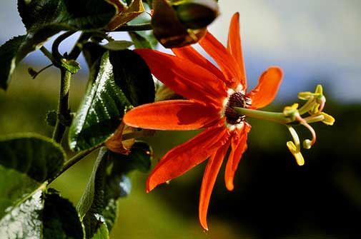 Passiflora manicata | Red Passion Flower | 20_Seeds