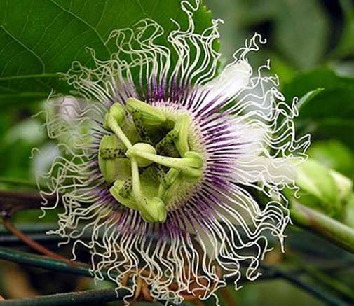Passiflora Panama Gold | Passion Vine | 20_Seeds