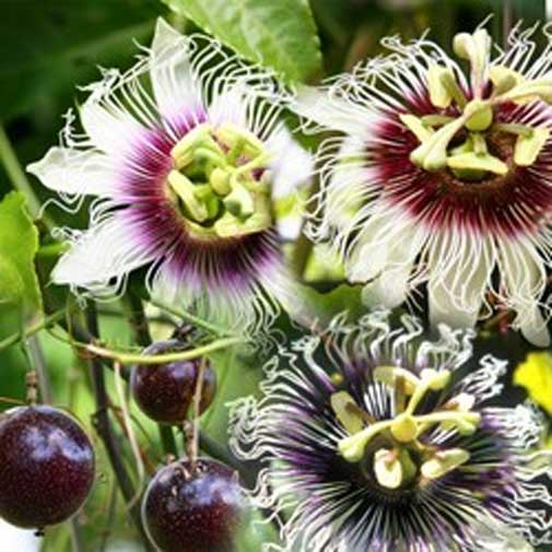 Passiflora Panama Red | Passion Vine | 20_Seeds