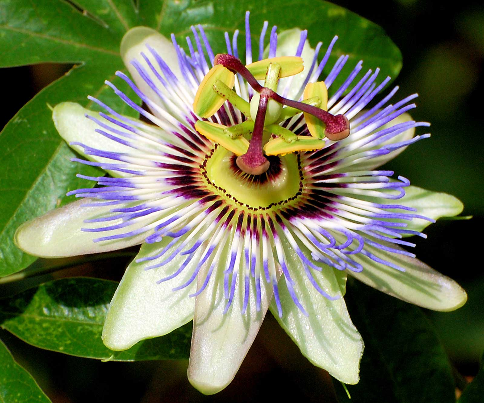 Passiflora caerulea | Blue Hardy Passion Flower | 50_Seeds