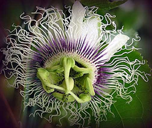 Passiflora edulis Purple Giant | Passion Vine | 20_Seeds