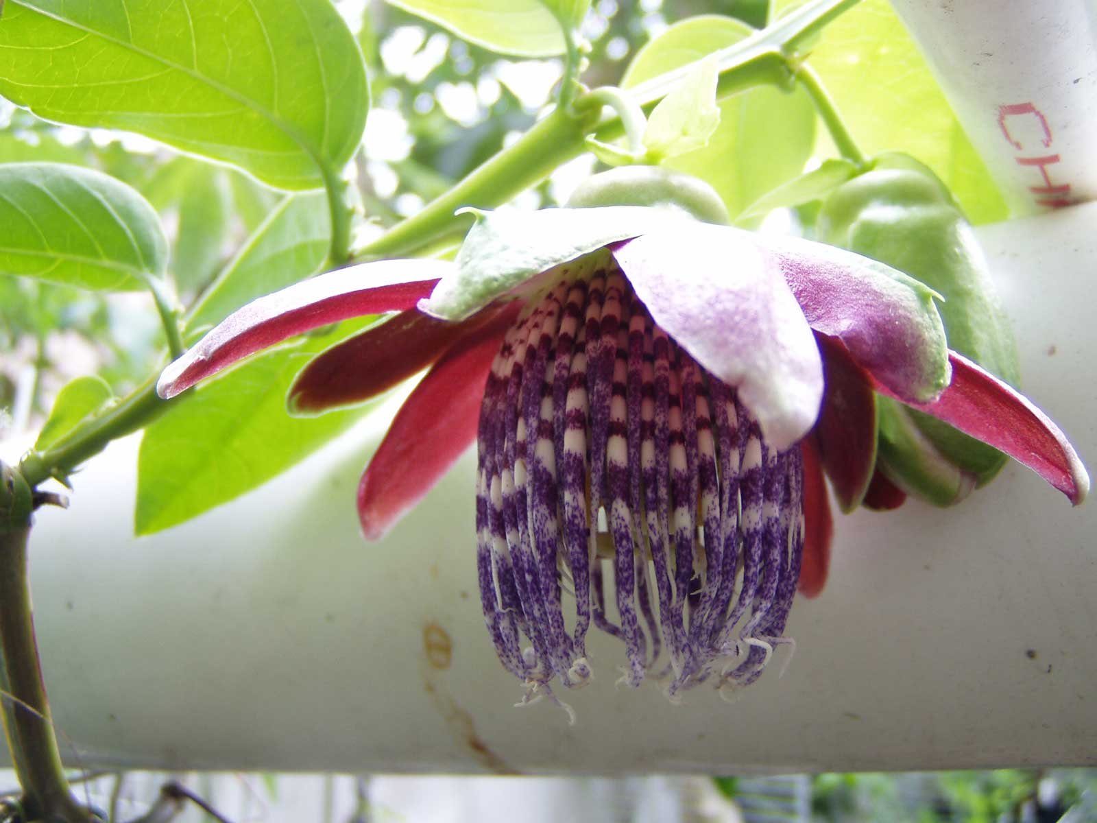 Passiflora quadrangularis | Giant Granadilla | Barbadine | Tumbo | 20_Seeds