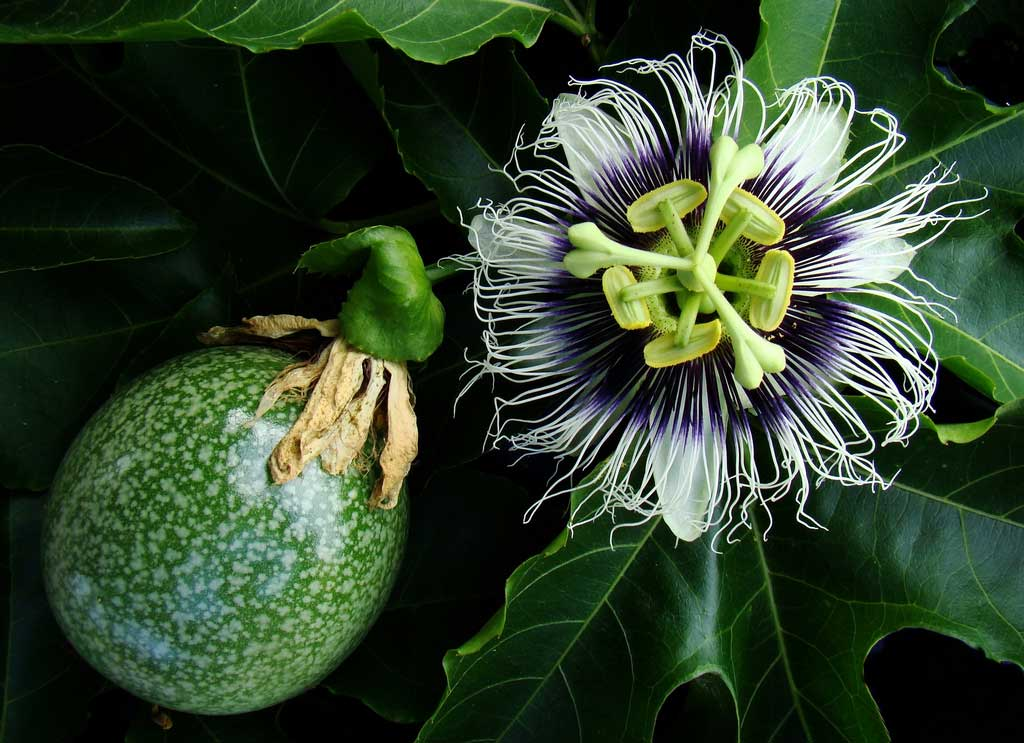 Passiflora edulis sweetheart | 20_Seeds