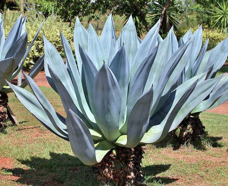 Agave americana | Sentry or Century Plant | Maguey | American Aloe | 10_Seeds
