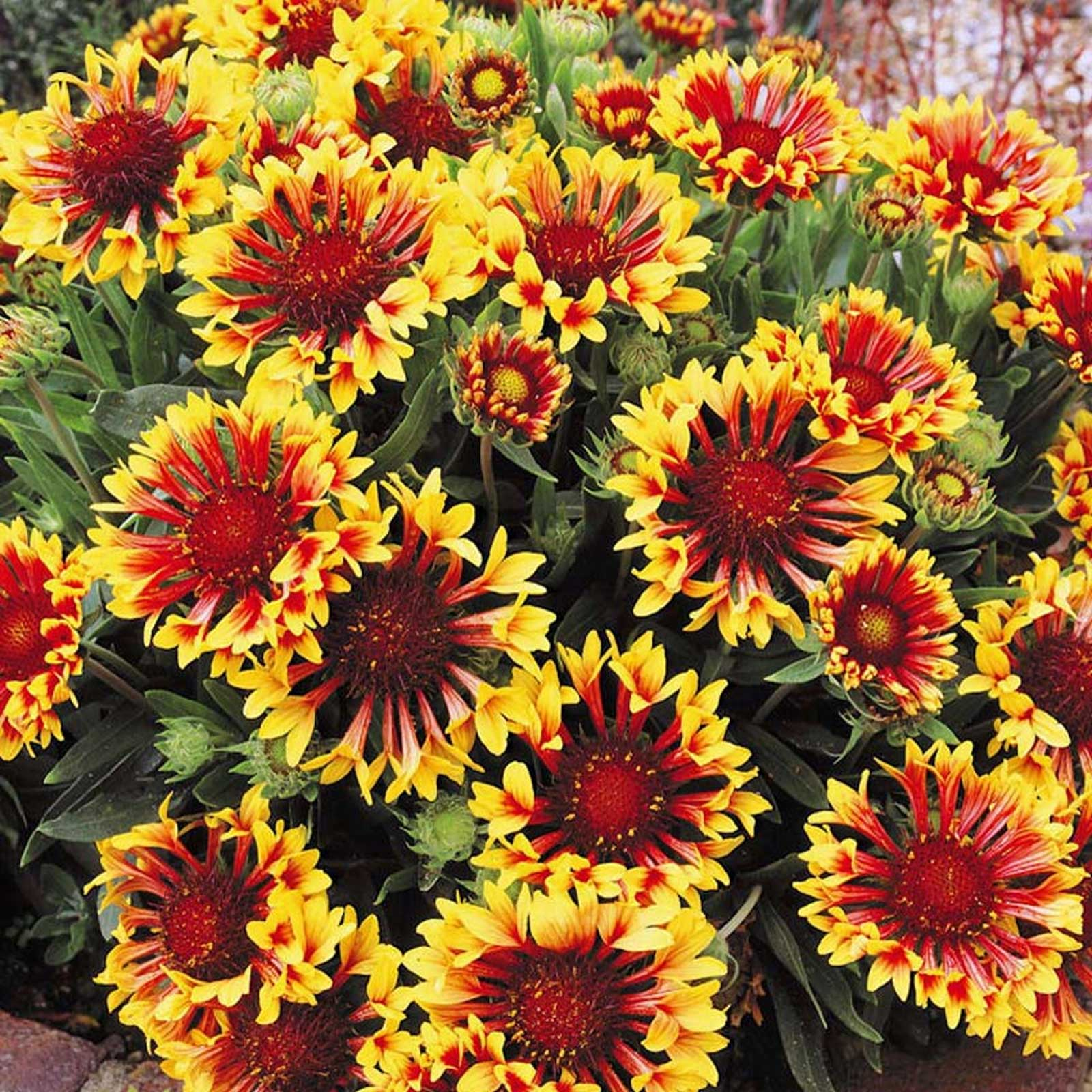 Gaillardia aristata Bremen | Indian Blanket Flower | 20_Seeds