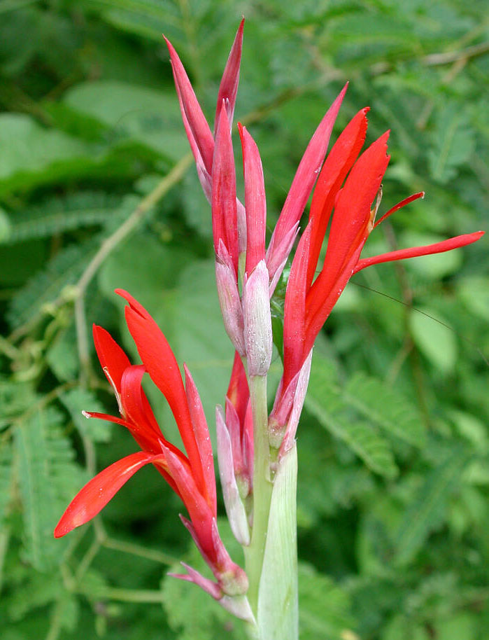 Canna indica | Indian Shot | 10_Seeds