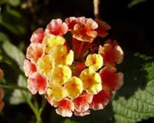 Lantana camara Ham and Eggs | 10_Seeds